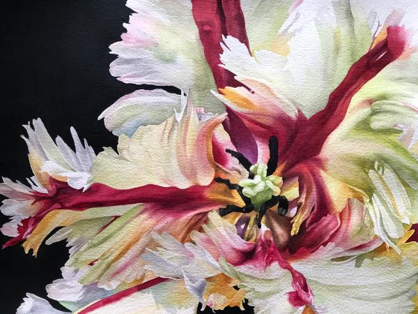 Red and White Parrot Tulip